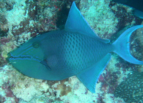 Maldives: Niger Triggerfish