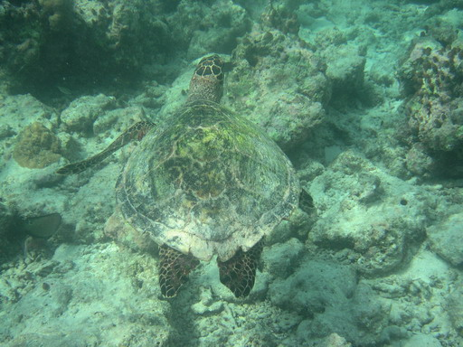 Maldives: Sea Turtle