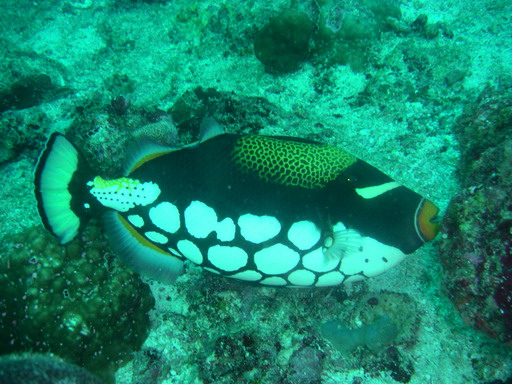 Maldives: Clown Triggerfish