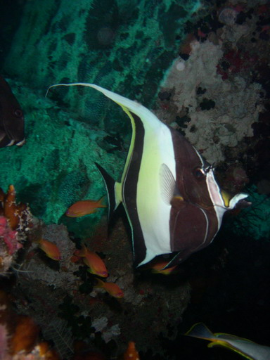 Maldives: Moorish Idol