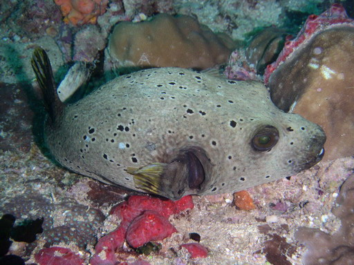 Maldives: Dog-faced Puffer