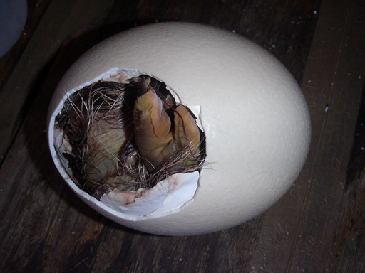 Baby ostrich still in egg