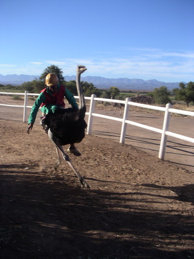 High-speed ostrich racing
